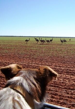 dog watching emus in a paddock