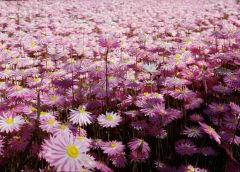 pink everlasting