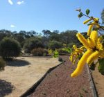 Beacon Botanical Park with close-up of yellow wattle flowering in foreground