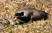 plover with her nest of eggs in field near Beacon in Western Australia